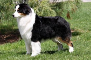 """Savvy"" AKC CH Oakhurst Arborview Black Pearl at Collinswood NA NAJ Wizard x Shelby"